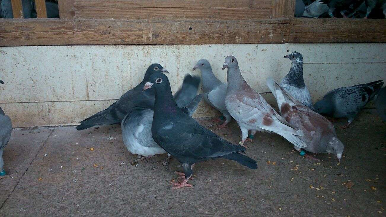 racing pigeons champions