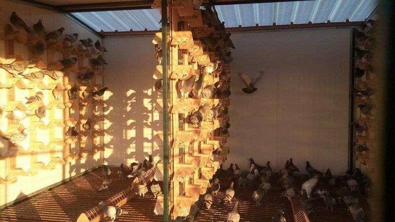racing pigeon loft algarve