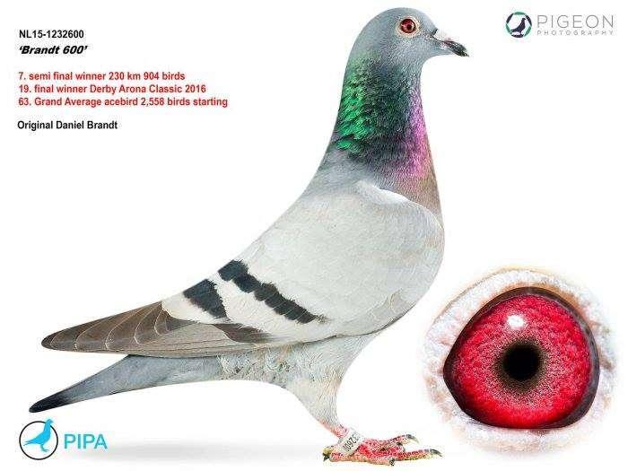 daniel-brandt-pigeon