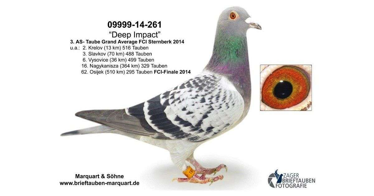 deep-impact-racing-pigeon