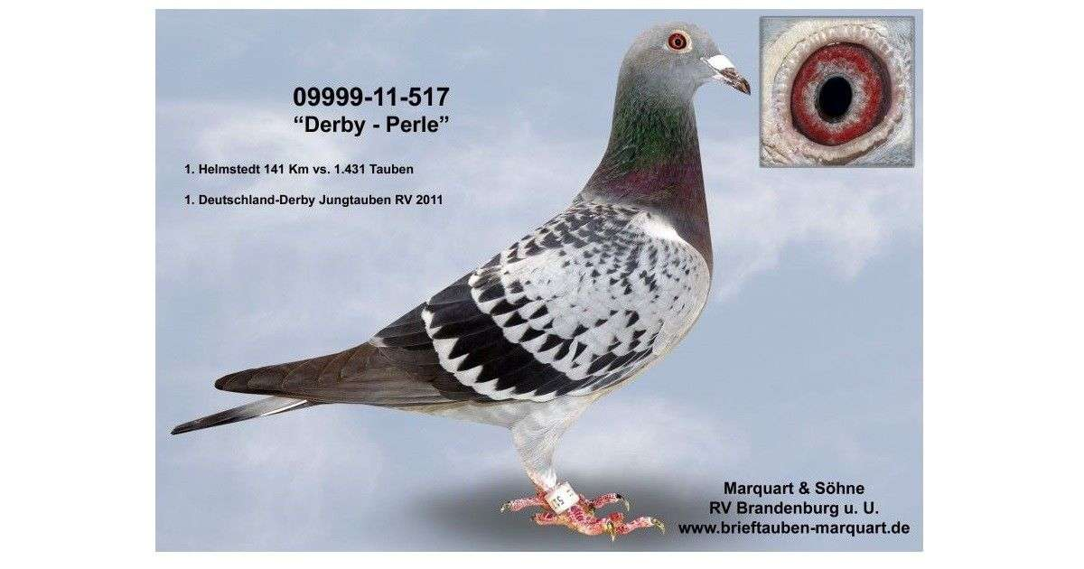 derby-perle-racing-pigeon