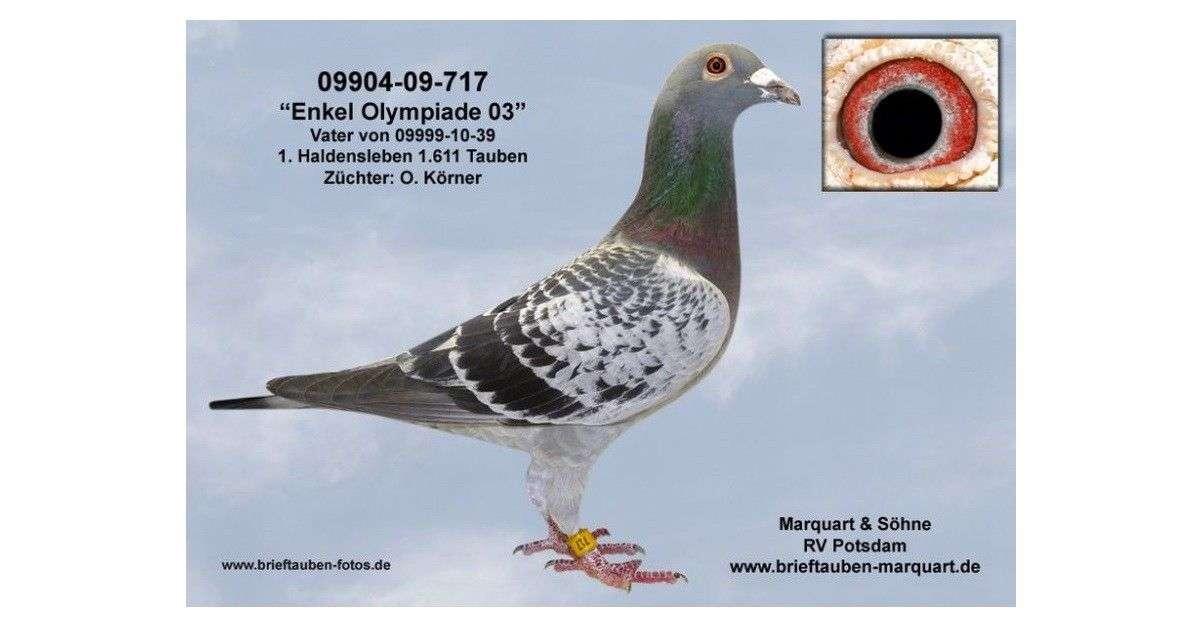 enkel-olympiade-03-racing-pigeon