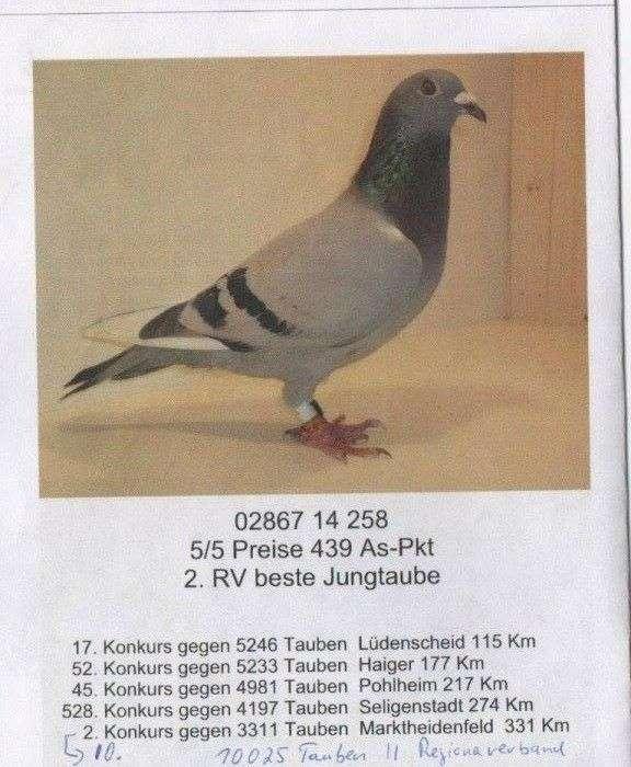 pigeon-daniel-brandt