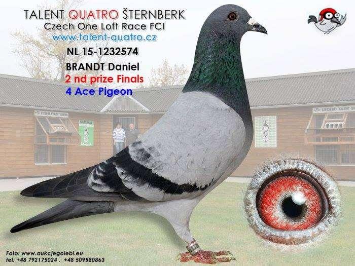 pigeon-talent-quatro