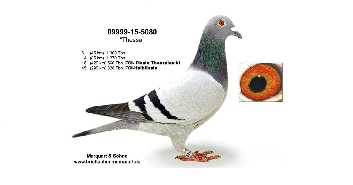 thessa-racing-pigeon